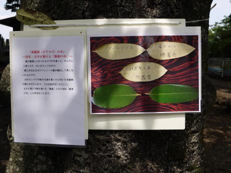 20150630_tarayounoki