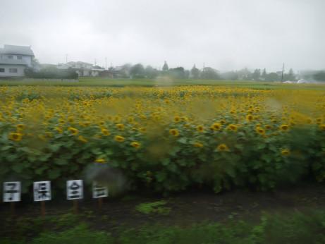 20150817_himawari