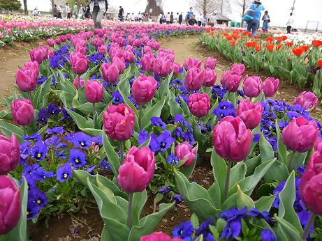 20160412_tulip_02