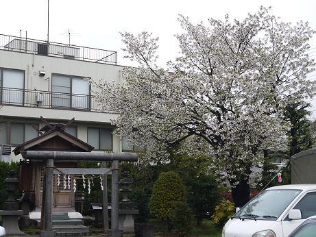 20170410_sakura