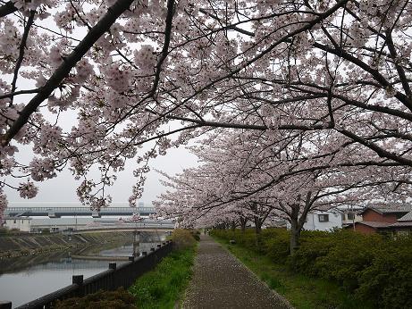 20170414_sakura_02