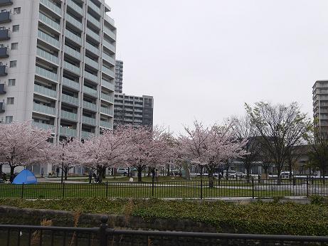 20170415_sakura_15