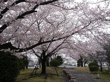 20170419_sakura_01