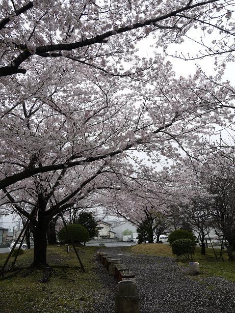 20170419_sakura_06