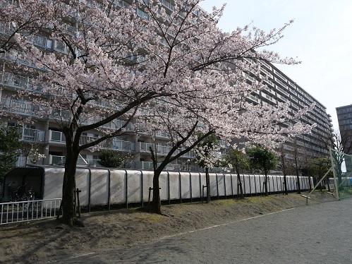 20200323_sakura_02