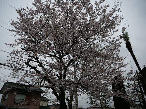 20200403_sakura_2