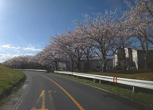 20200409_sakura_02