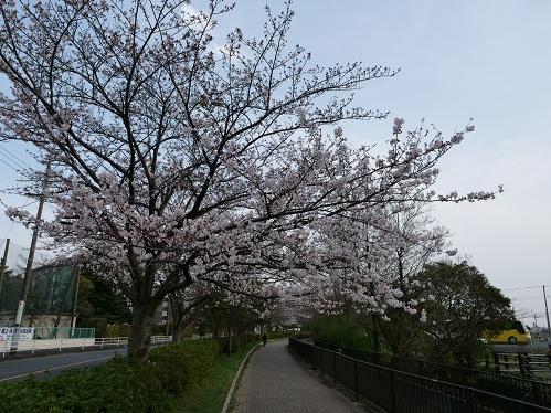 20200410_sakura_3