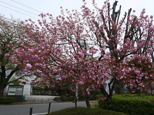 20200416_sakura_05
