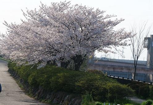 20200718_sakura_namiki