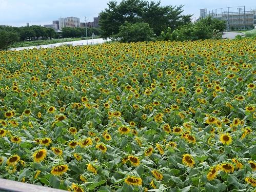 20200808_himawari_09