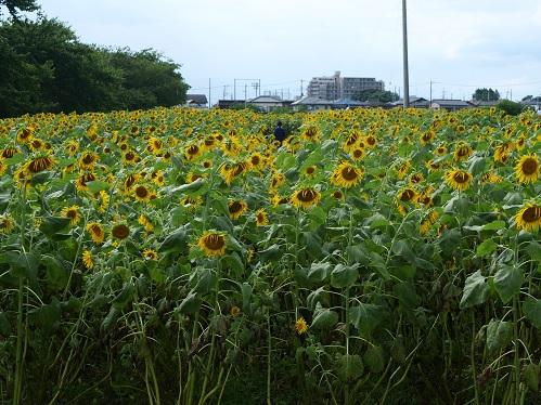 20200808_himawari_16
