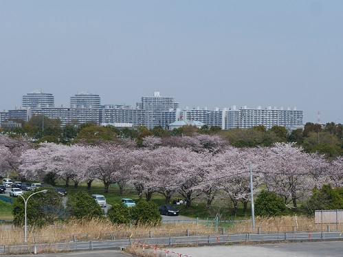20210508_sakura_09